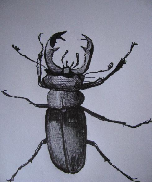 insectecoleopteredessin012.jpg